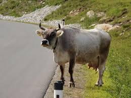 Familia unei femei ucise de o vaca in Tirol cere daune de 360.000 de euro